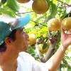 夏の疲れに梨が効く!新潟の隠れた名産「梨」の栄養・健康効果を調べてみた