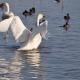 冬の風物詩!新潟県内で白鳥を観察できるおすすめスポットまとめ!