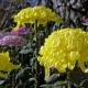 「弥彦菊まつり」が2017年11月1日から開催!美しい菊の花が全国から集結!