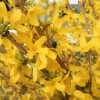 【4/6(土)開催】新発田の春は黄色に染まる「れんぎょうフェスタ」♪イエローカラーで盛り上げよう!